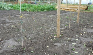Clearing the ground; planting two Downton Pippins