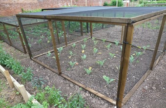 One of the newly built brassica cages