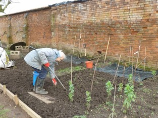 Weeding around the broad beans